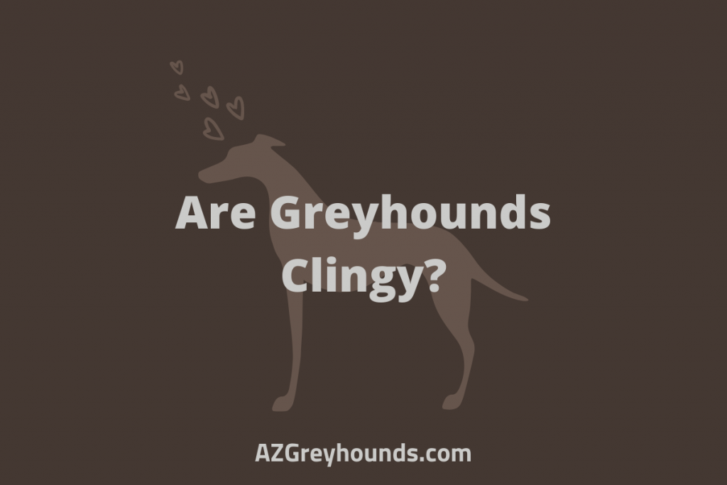Are Greyhounds Clingy
