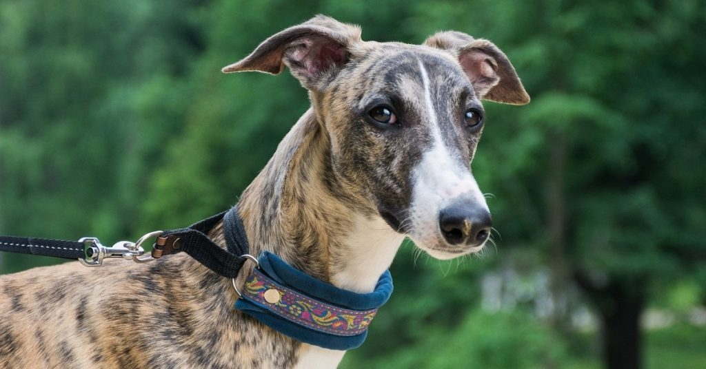 Are Greyhounds Good with Cats
