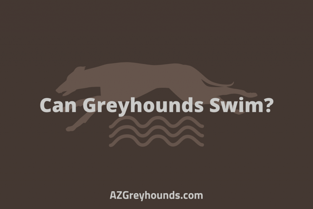 Can Greyhounds Swim