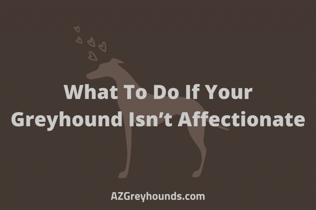 Greyhound signs of affection