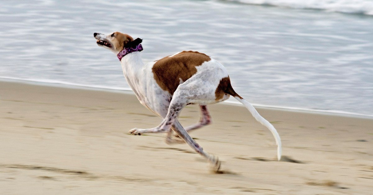 How much exercise do greyhounds need