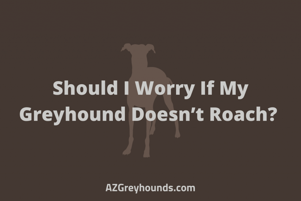 Should I Worry If My Greyhound Doesn't Roach_