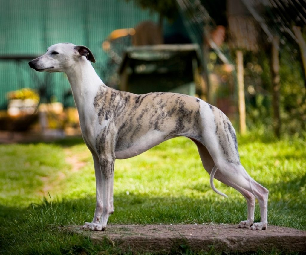 Types of Greyhounds long hair