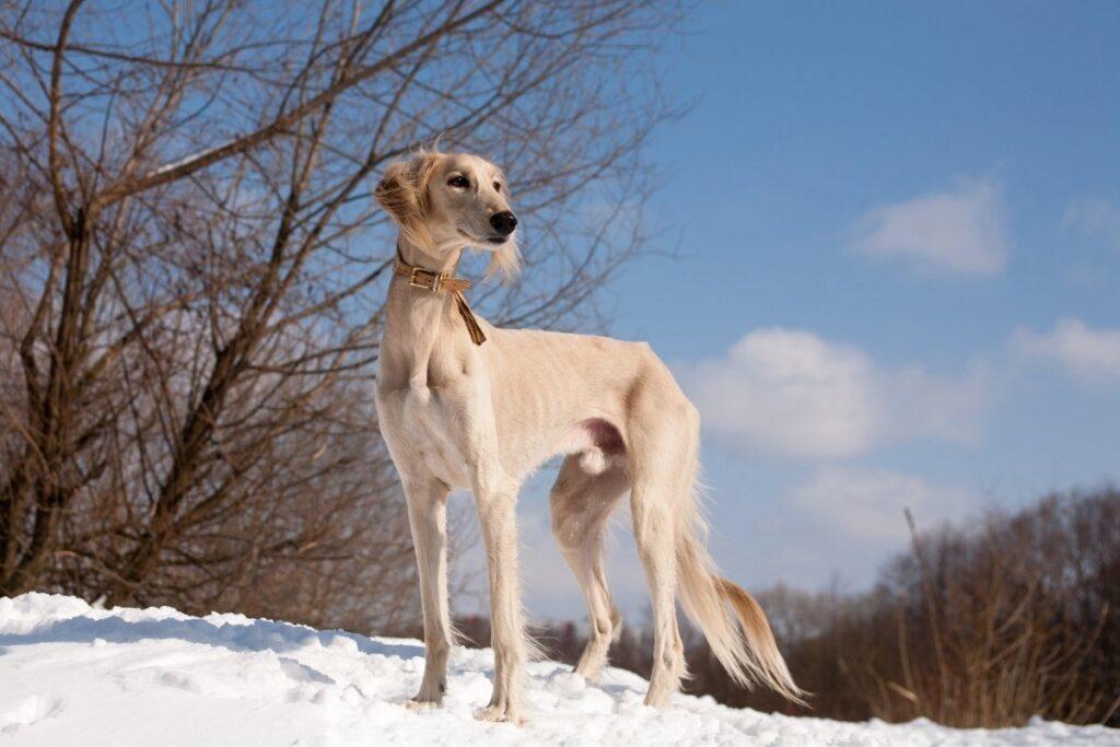 What dog looks like a miniature greyhound