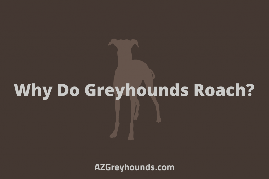 Why Do Greyhounds Roach_