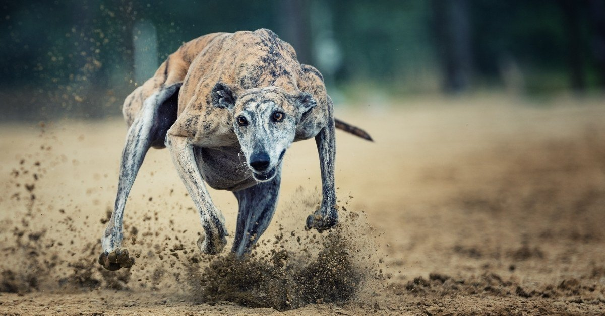 are greyhounds aggressive dogs