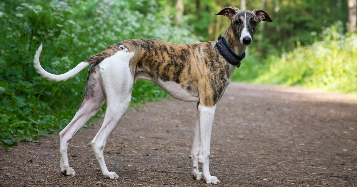 are greyhounds good pets