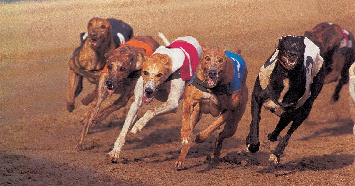 are retired greyhounds good pets