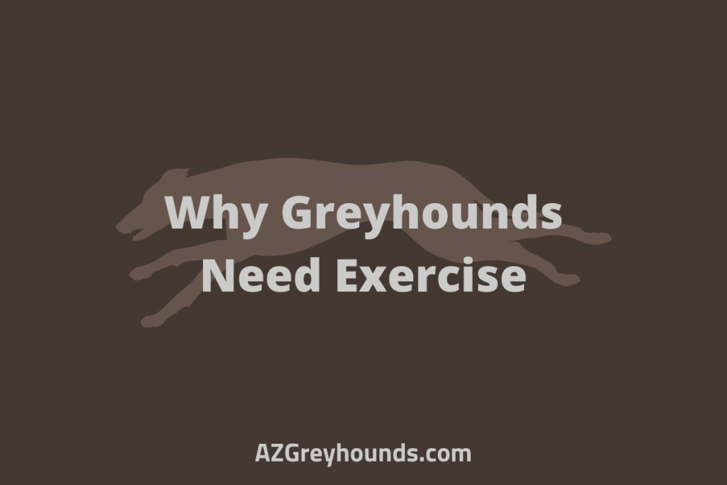 do greyhounds need a lot of exercise