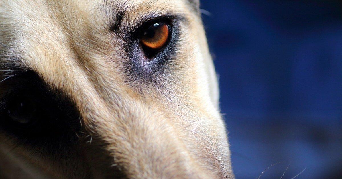 do greyhounds shed