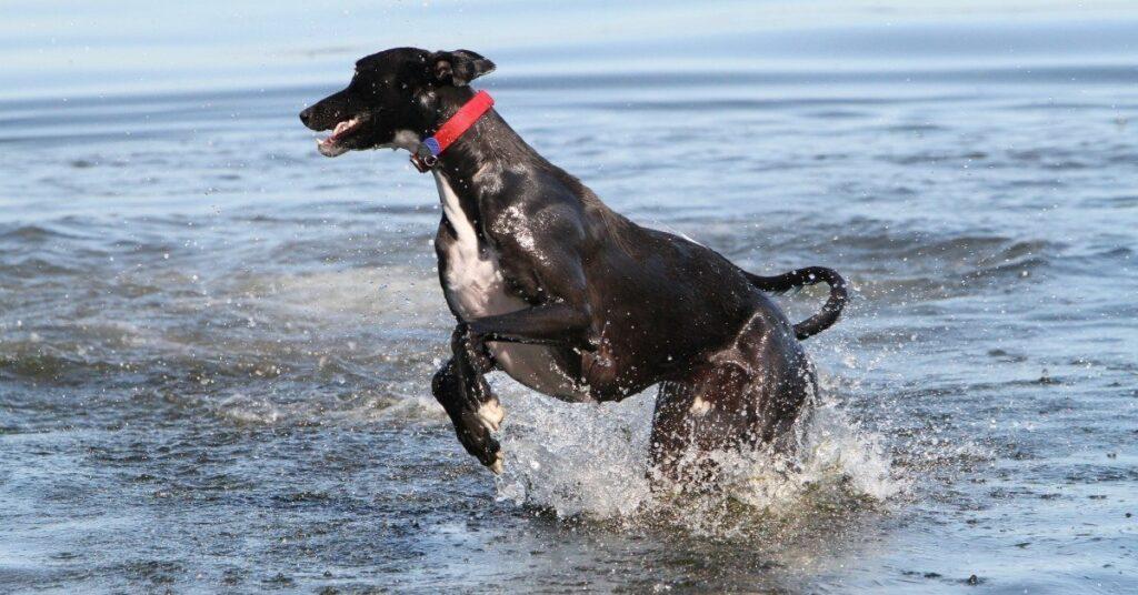 do italian greyhounds like water