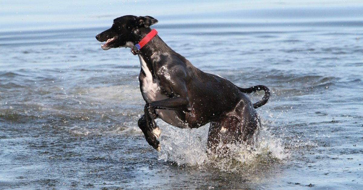 do italian greyhounds like water