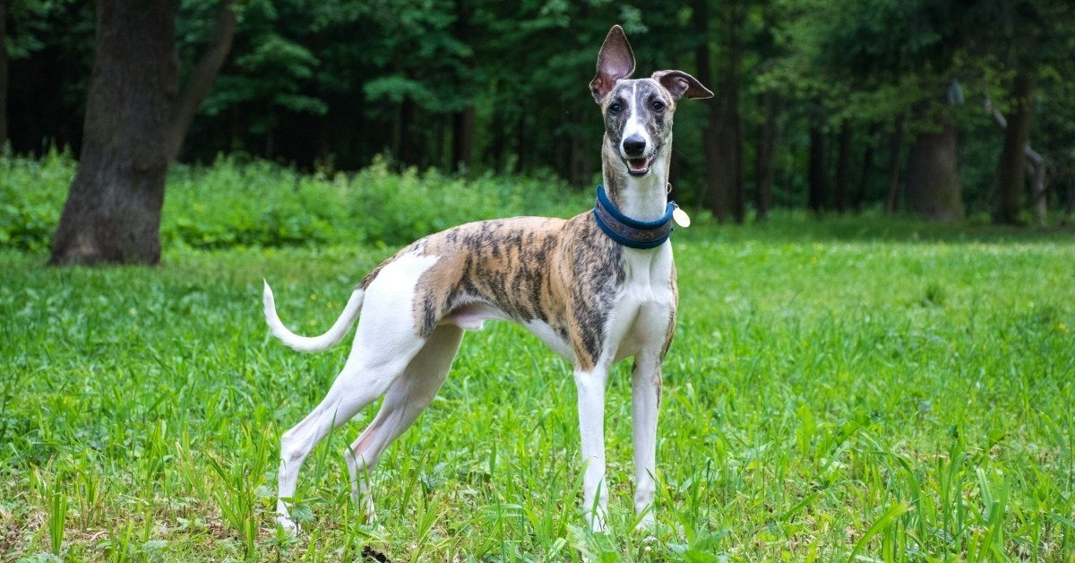 dog breeds similar to greyhound