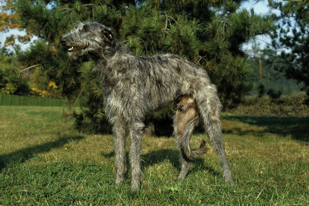 dogs that are similar to greyhounds (1)