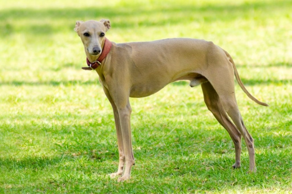 dogs that look like greyhounds with long hair