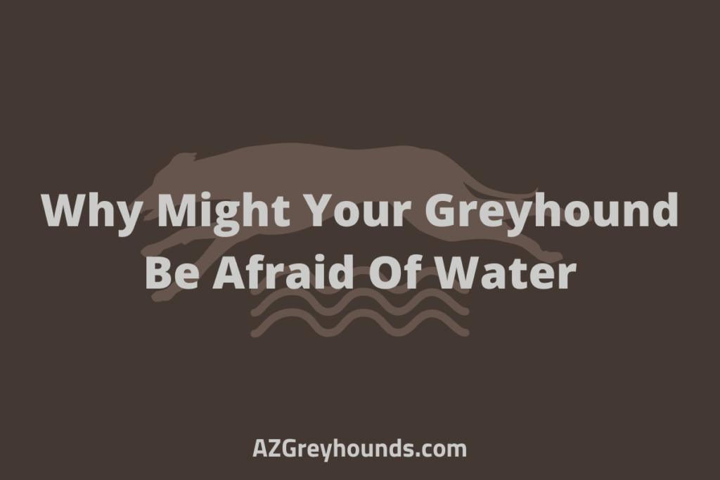 greyhound is afraid of water