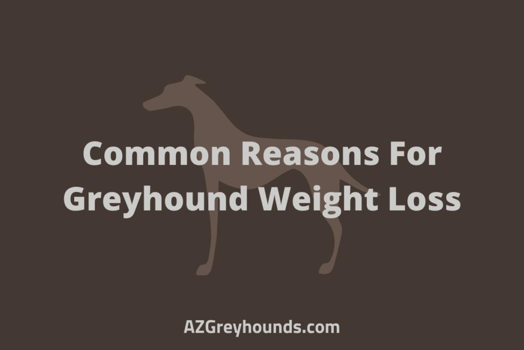greyhound losing weight