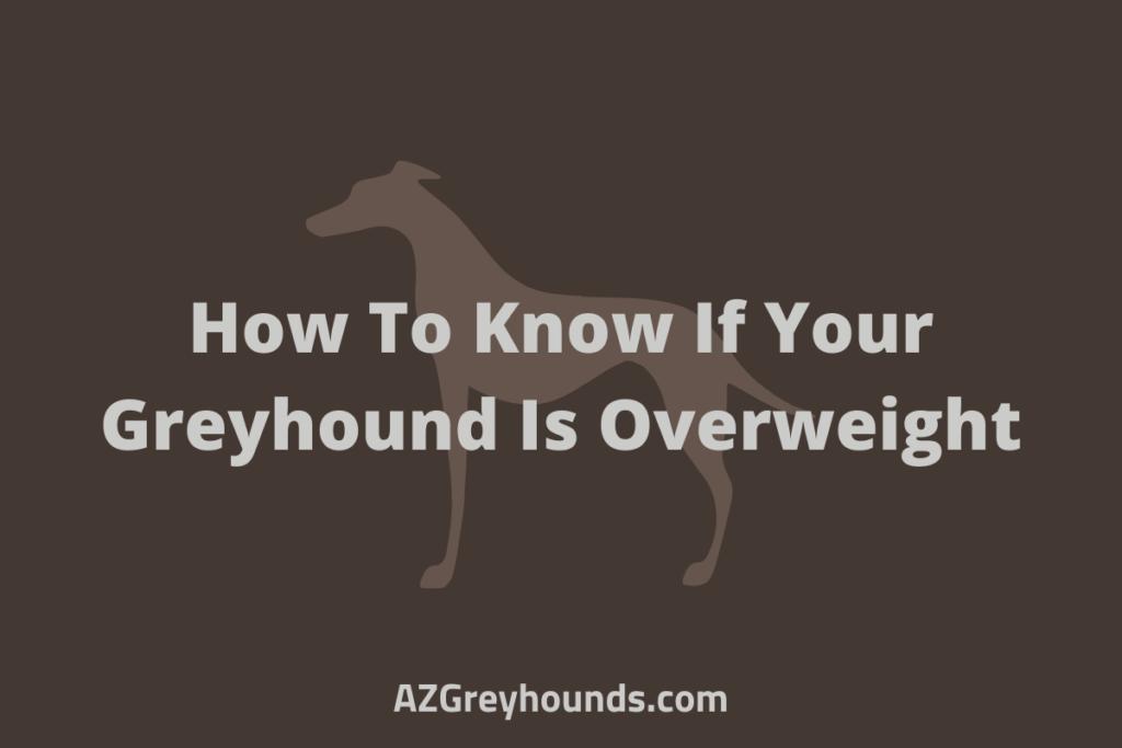 greyhound weight gain