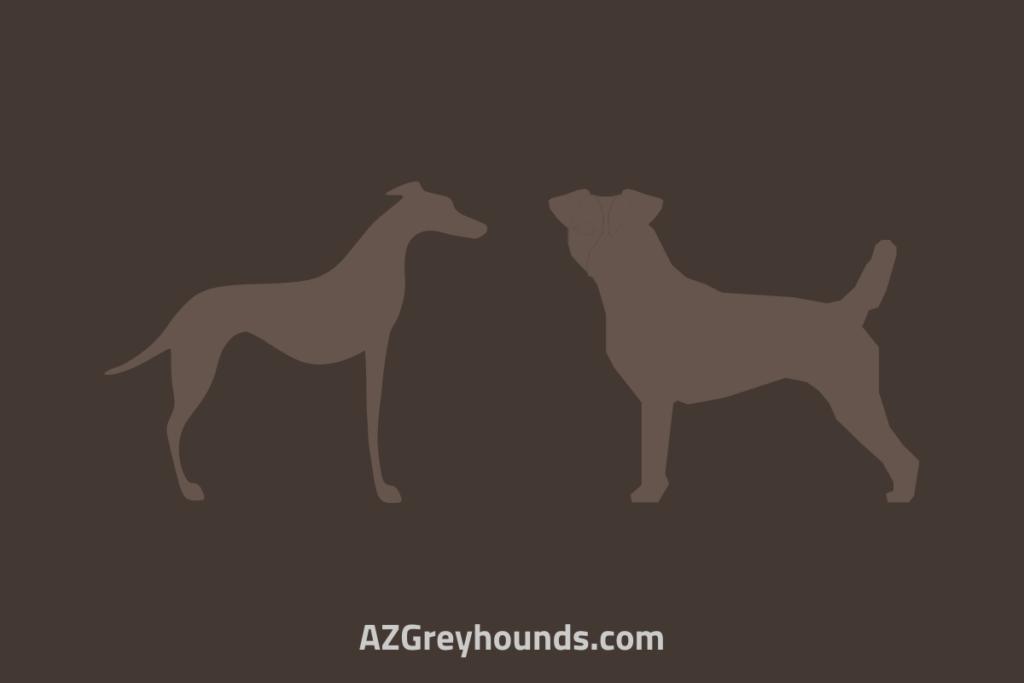 jack russell greyhound cross