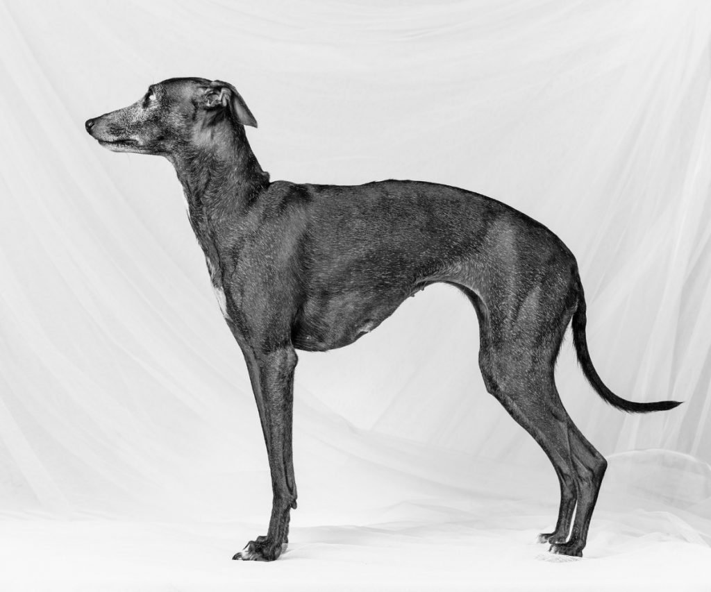 types of greyhounds