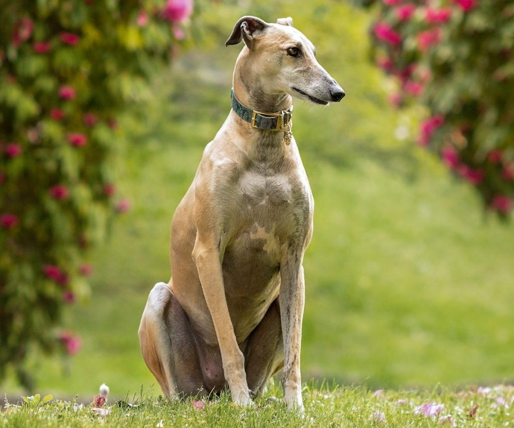 types of greyhounds breeds