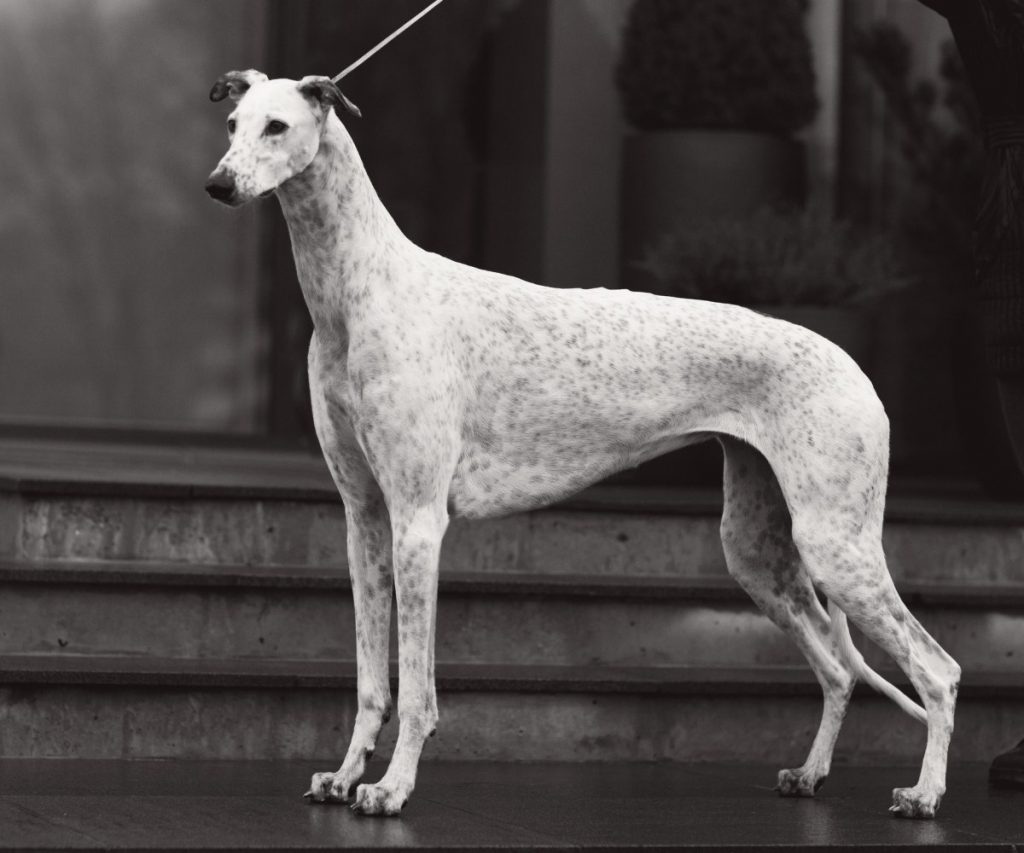 types of sighthounds