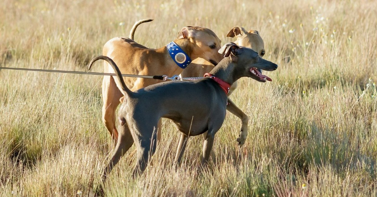 what are the different types of greyhound