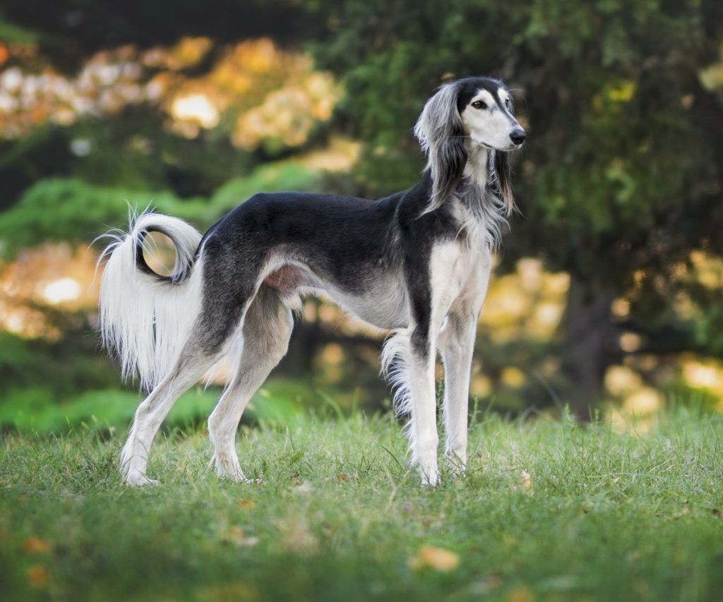 what are the different types of greyhounds