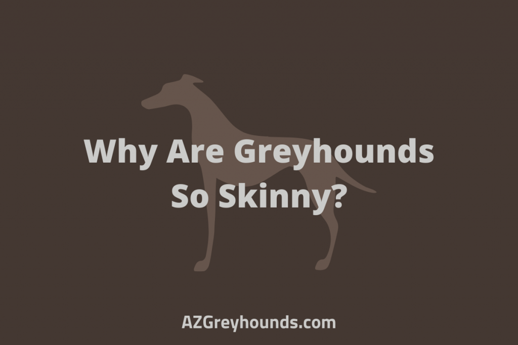 why are greyhounds so skinny