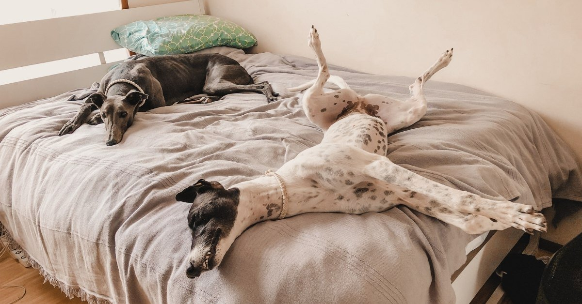 why do greyhounds roach and what is roaching