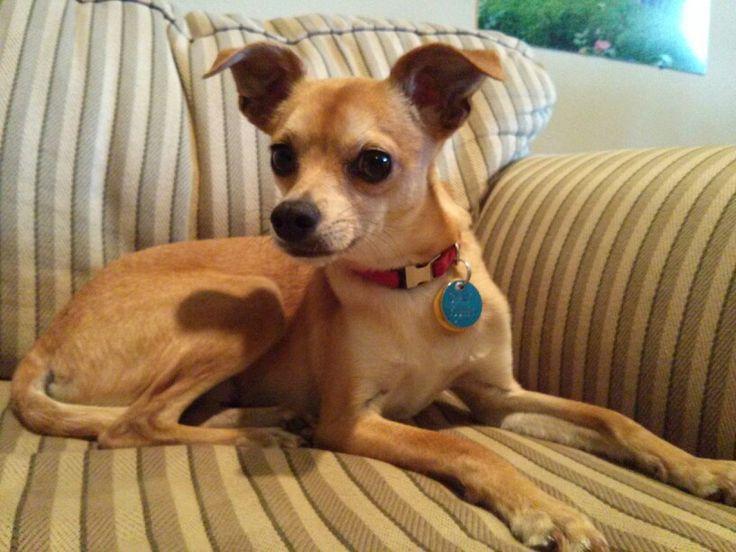Greyhound Chihuahua mix