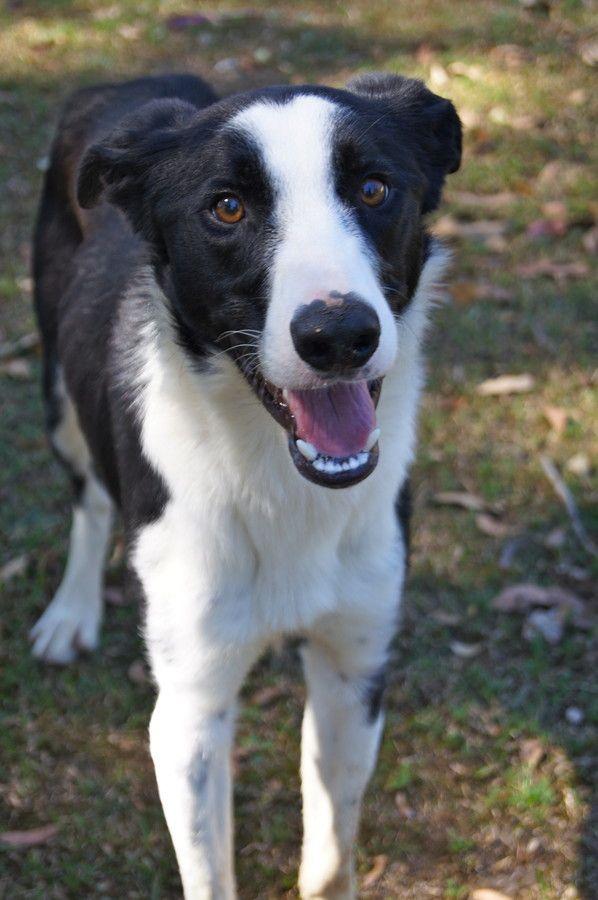 Border Collie-Greyhound