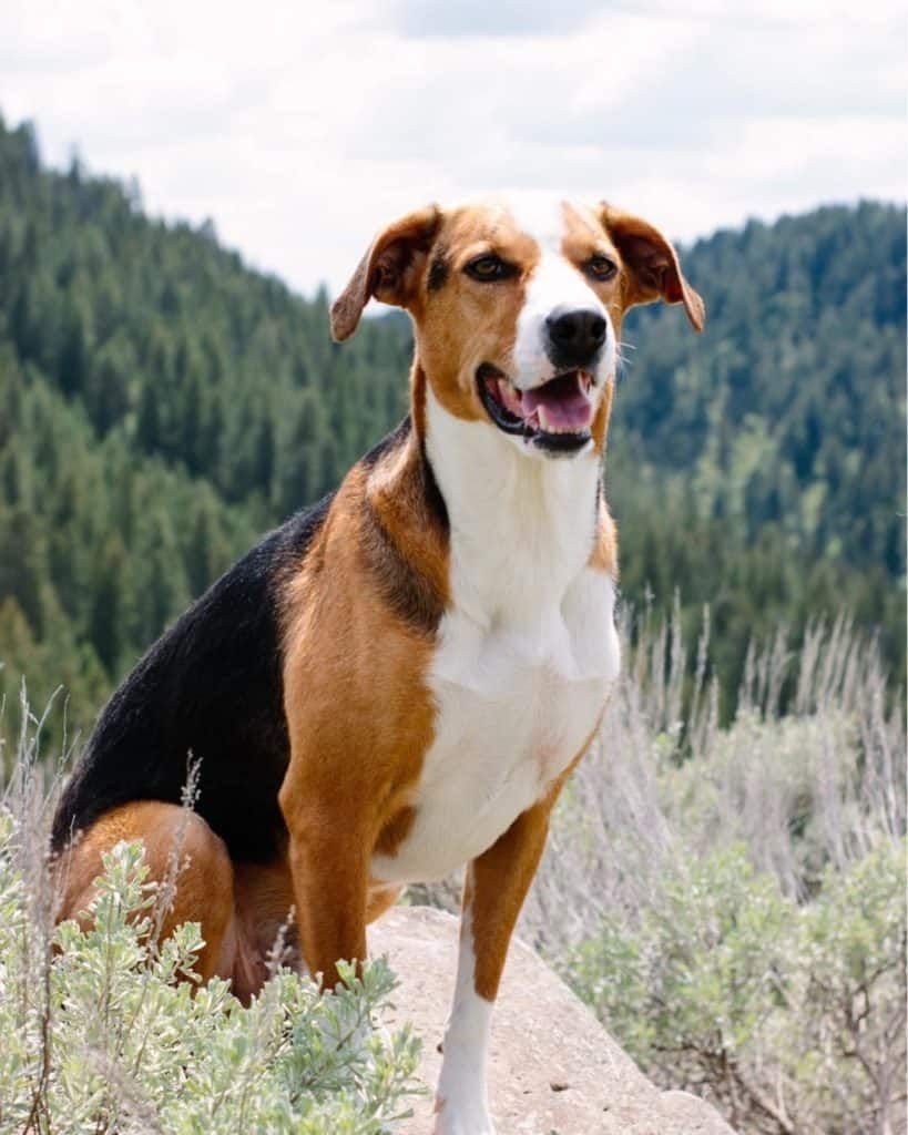 Greyhound Beagle Mix