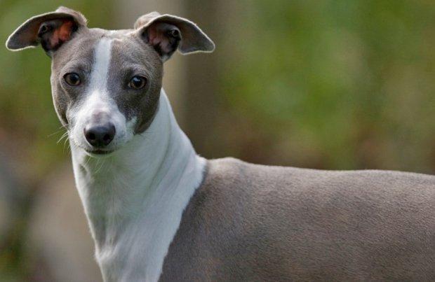 Pure Italian Greyhound