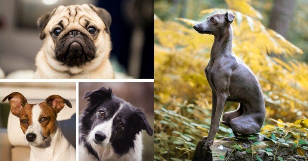 Italian greyhound mixes