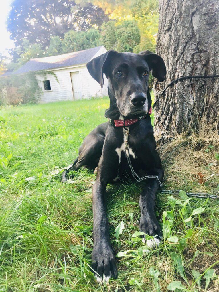 Great Dane Greyhound