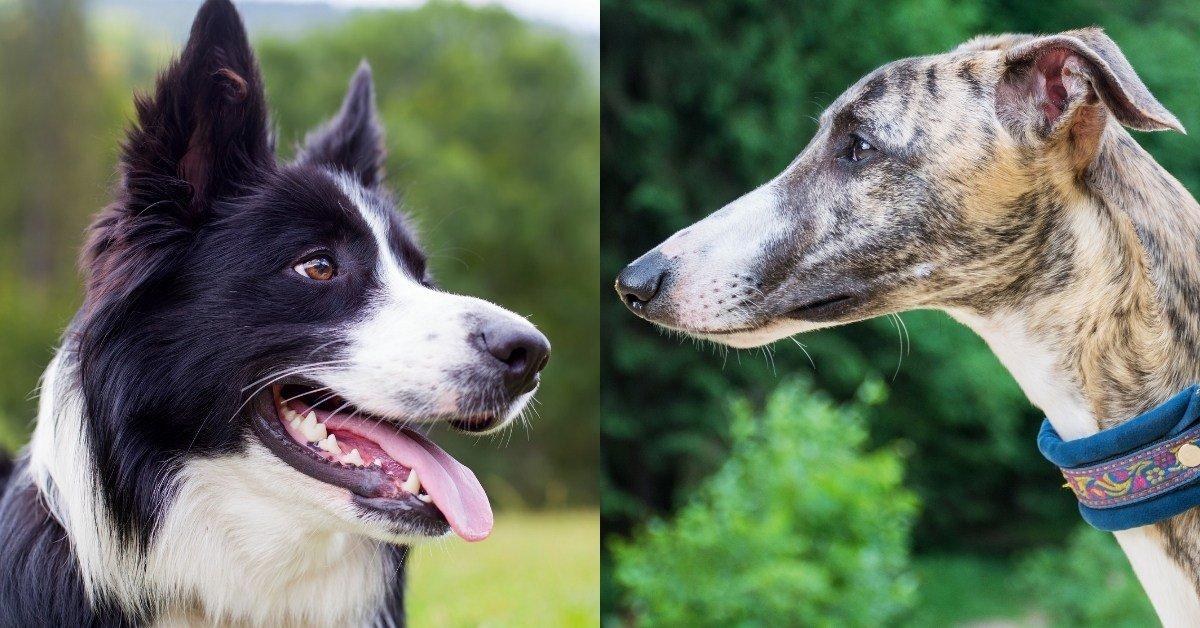 border collie greyhound mix