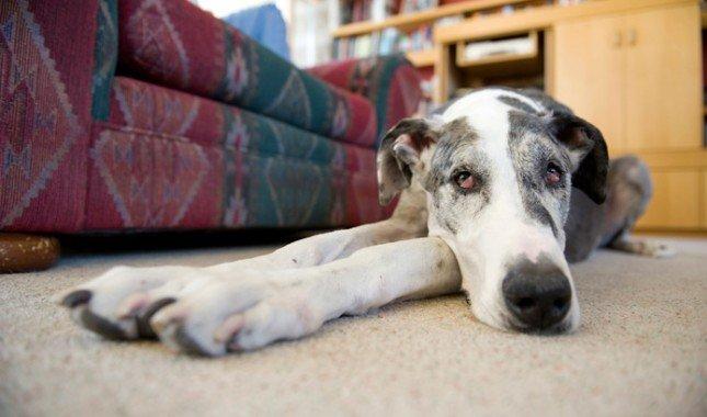 Greyhound Great Dane