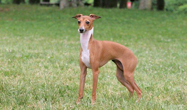 Miniature Greyhound