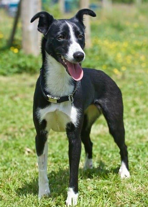 Greyhound-Border Collie