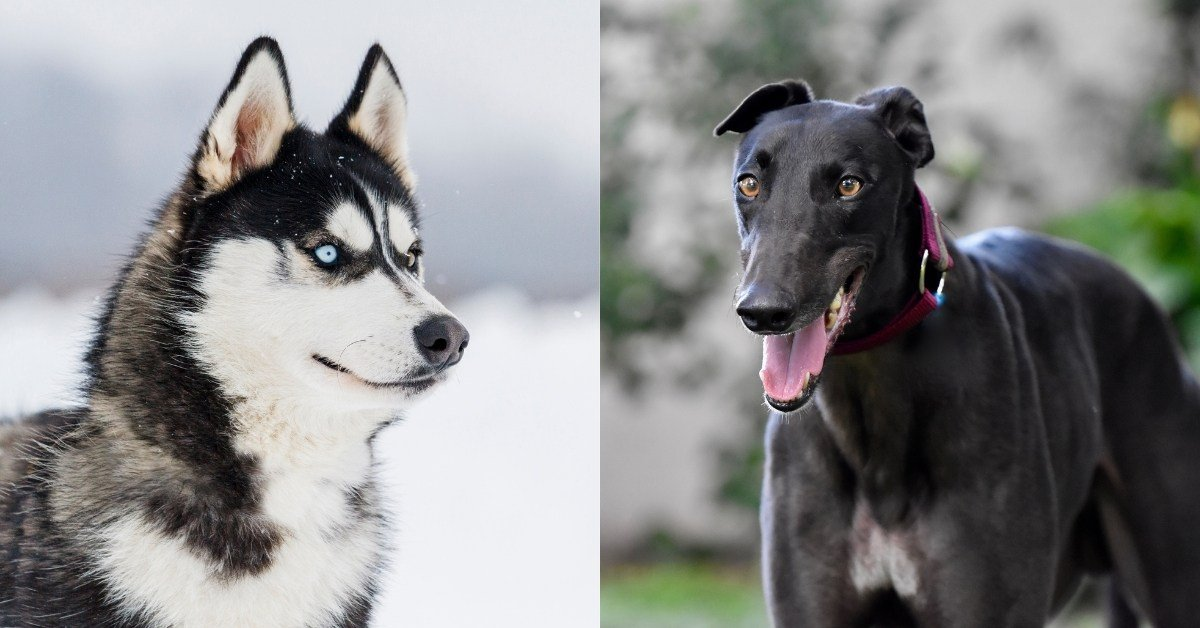 greyhound husky mix