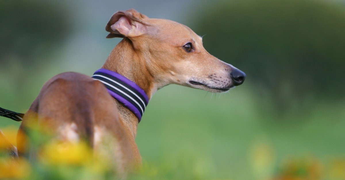 how much do Italian greyhounds cost