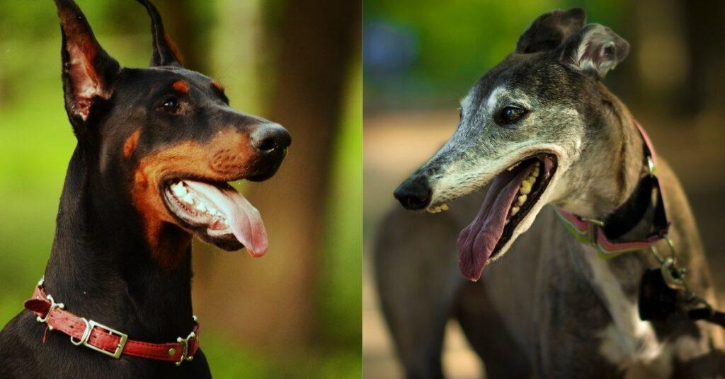 italian greyhound doberman mix