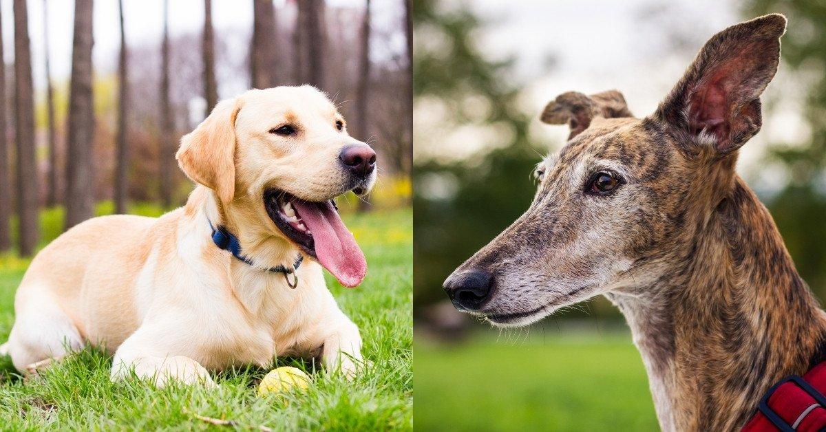 labrador greyhound mix