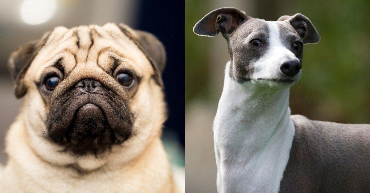 pug Italian greyhound mix