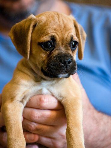 Pug Greyhound